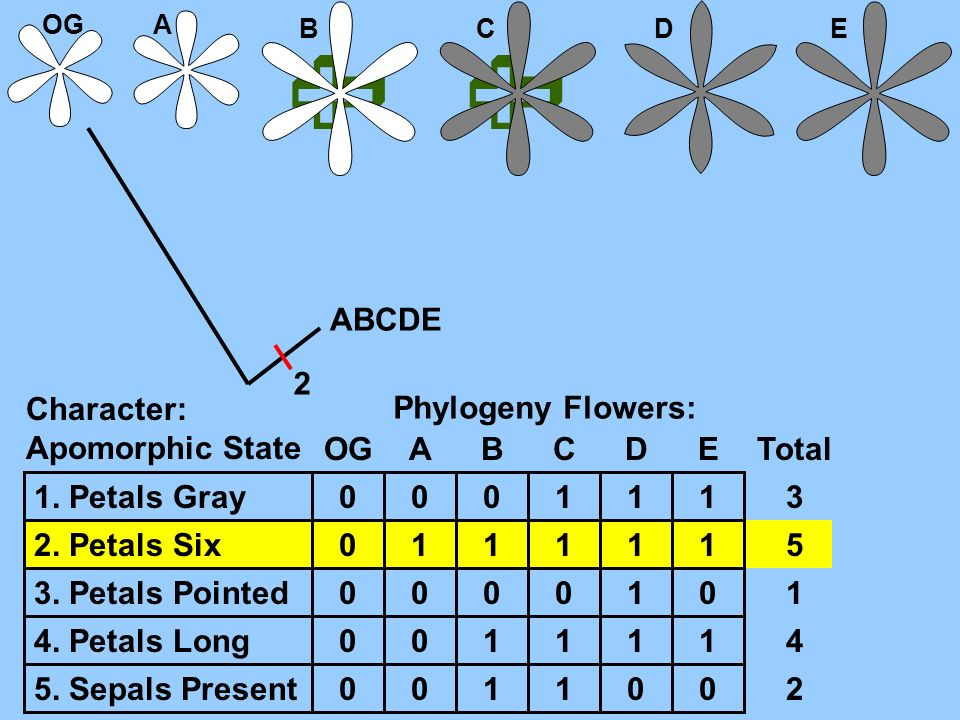   ABCDE 2 Character: Apomorphic State Phylogeny Flowers: OG A B C D