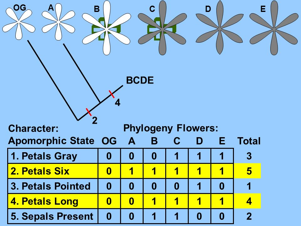   BCDE 4 2 Character: Apomorphic State Phylogeny Flowers: OG A B C D