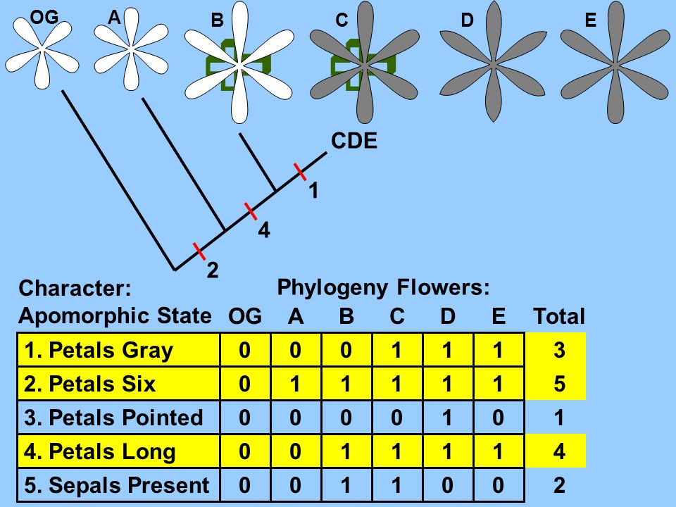   CDE 1 4 2 Character: Apomorphic State Phylogeny Flowers: OG A B C