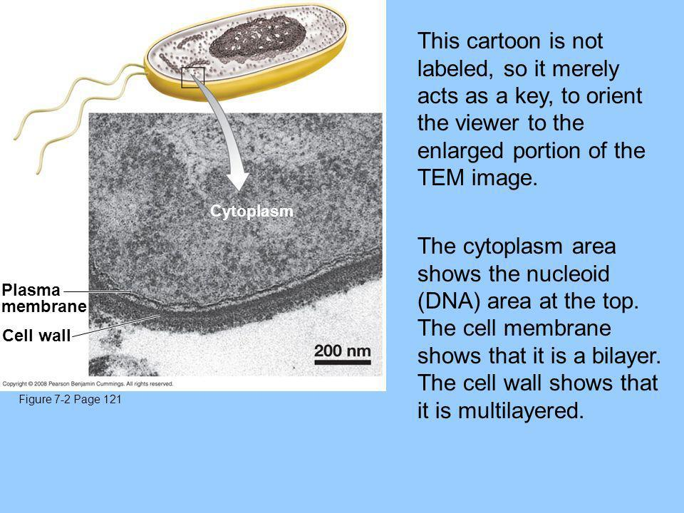 The cytoplasm area shows the nucleoid (DNA) area at the top.