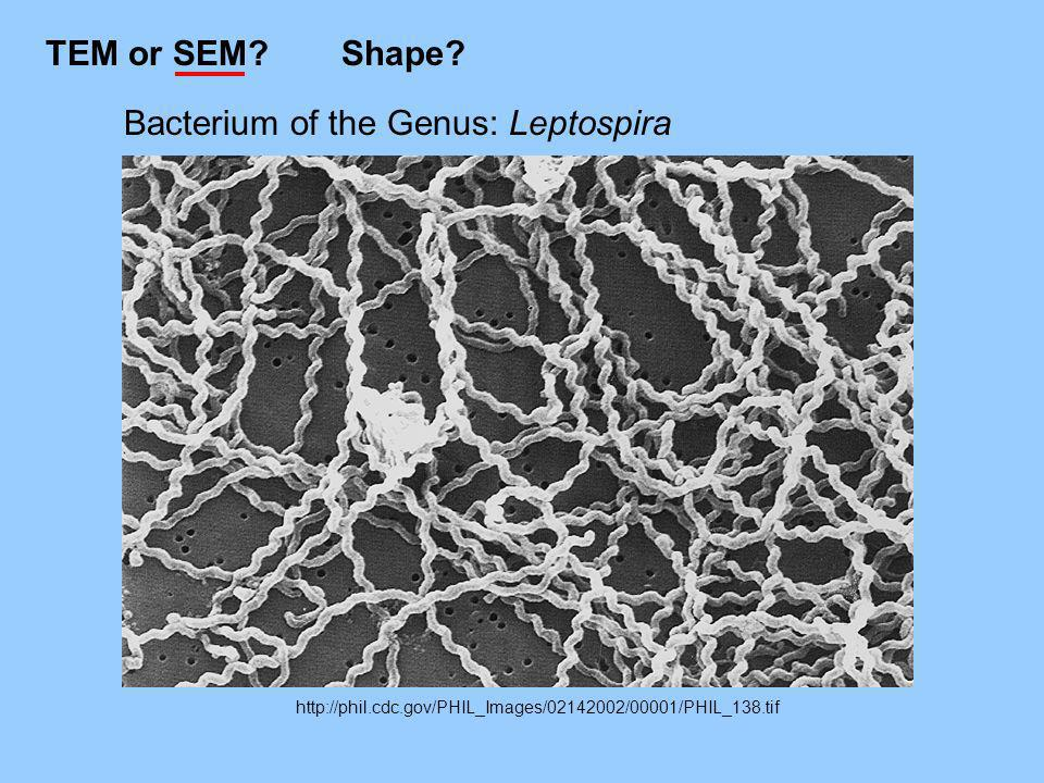 Bacterium of the Genus: Leptospira