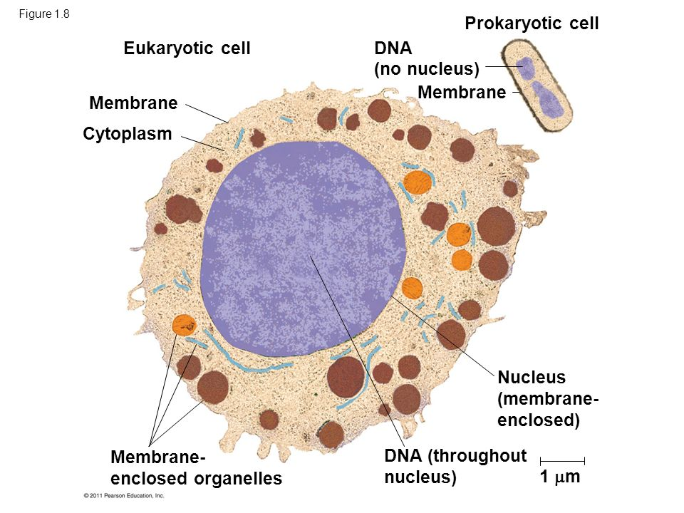 a membrane enclosed nucleus The nucleus is a membrane-enclosed organelle found in eukaryotic cells that  contains the genetic information of the cell the function of the nucleus is to.