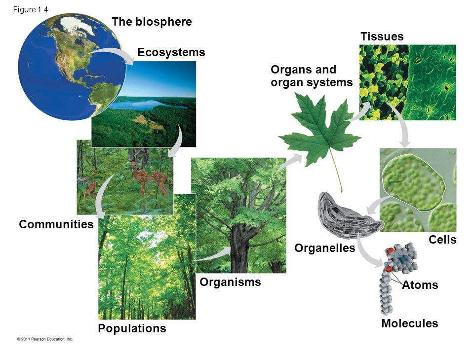 The biosphere Tissues Ecosystems Organs and organ systems Communities