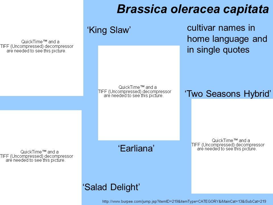 Brassica oleracea capitata