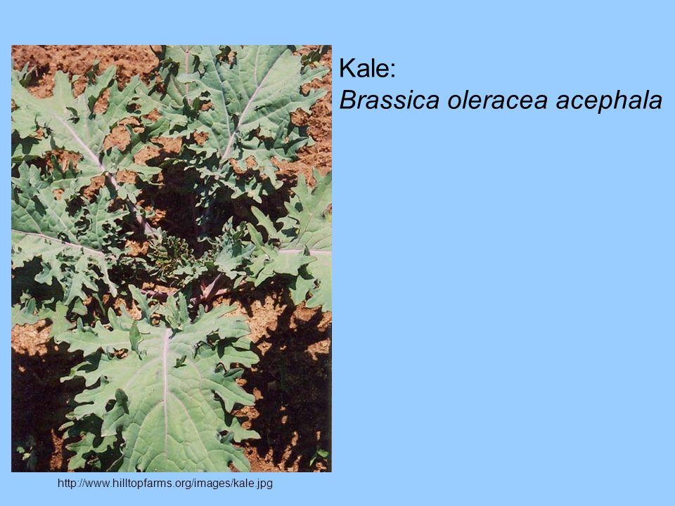 Brassica oleracea acephala