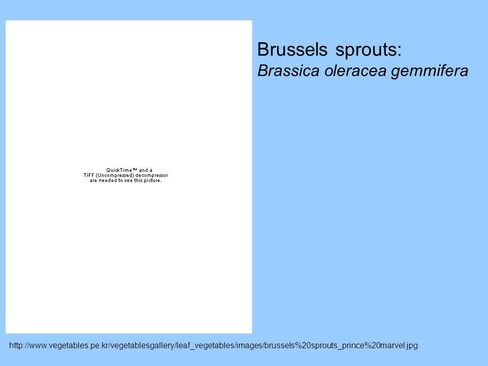 Brussels sprouts: Brassica oleracea gemmifera