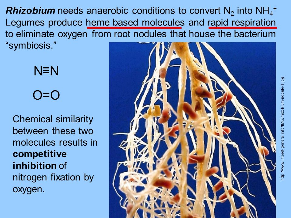 N O=O Rhizobium needs anaerobic conditions to convert N2 into NH4+