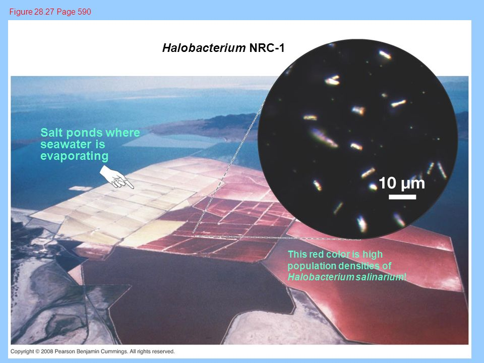 Halobacterium NRC-1 Salt ponds where seawater is evaporating