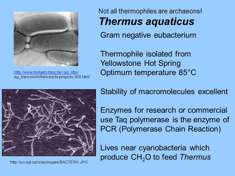 Thermus aquaticus Gram negative eubacterium Thermophile isolated from