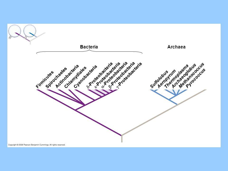 Bacteria Archaea. Firmicutes. Spirochaeles. Actinobacteria. Chlamydiales. Cyanobacteria. -Proteobacteria.