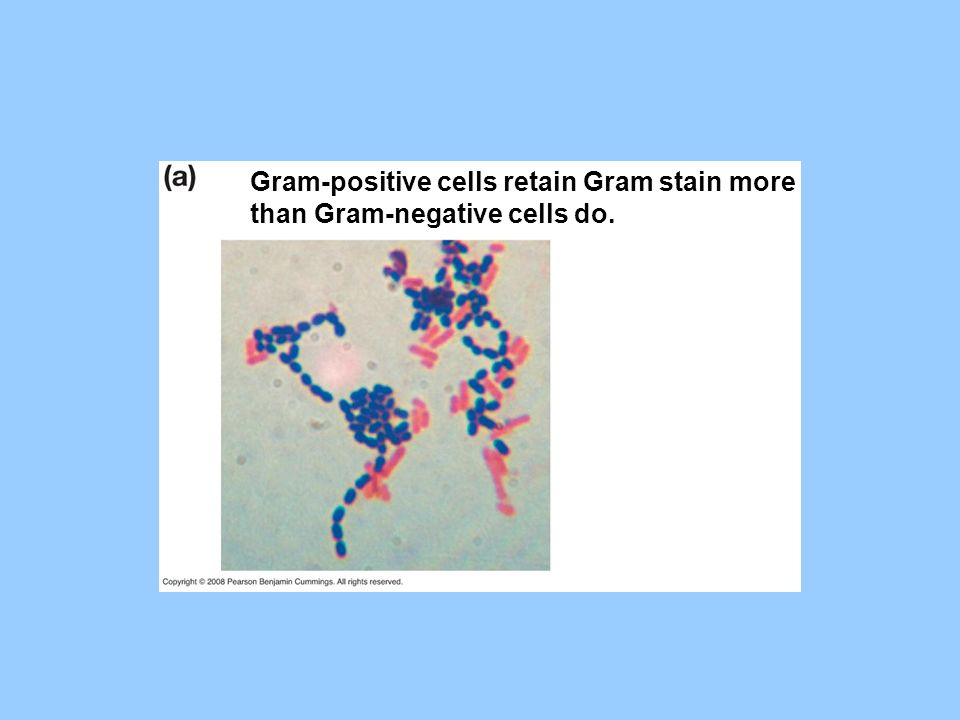 Gram-positive cells retain Gram stain more
