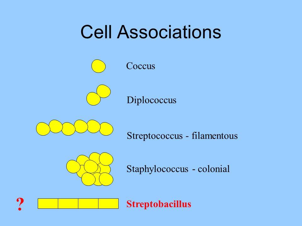 Cell Associations Coccus Diplococcus Streptococcus - filamentous