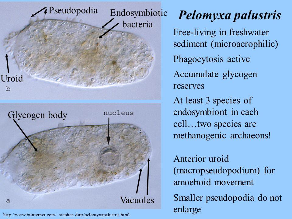Pelomyxa palustris Pseudopodia Endosymbiotic bacteria