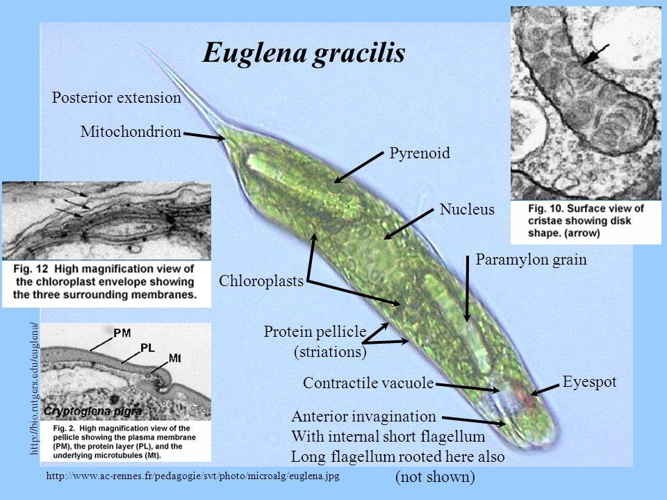 Euglena gracilis Posterior extension Mitochondrion Pyrenoid Nucleus