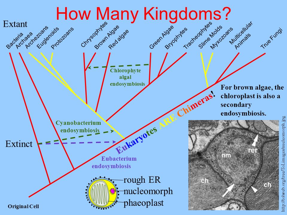 How Many Kingdoms Extant Eukaryotes ARE Chimeras! Extinct rough ER