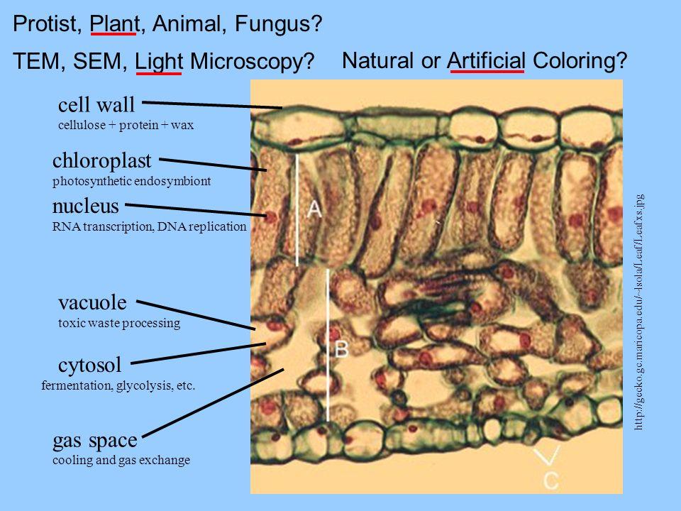 Protist, Plant, Animal, Fungus