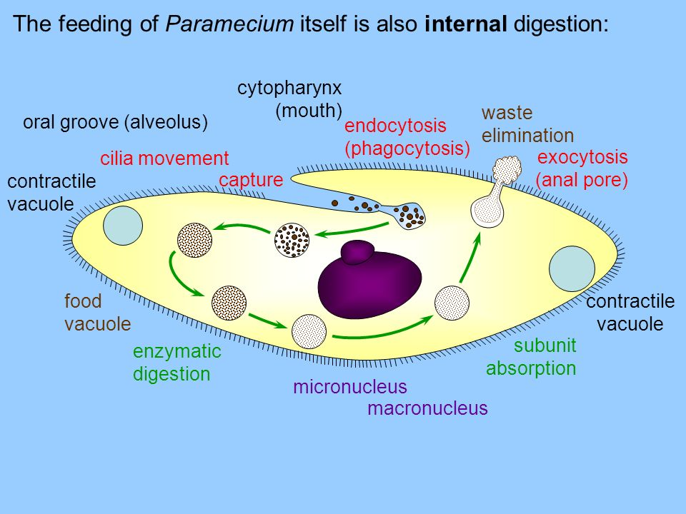 The feeding of Paramecium itself is also internal digestion: