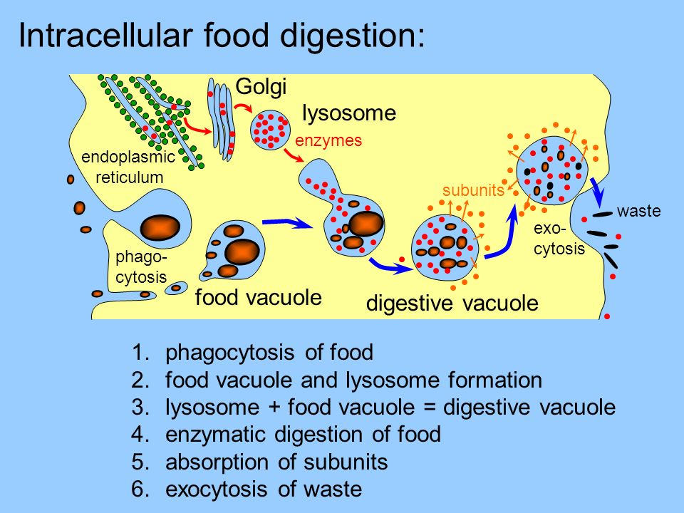 Intracellular food digestion: