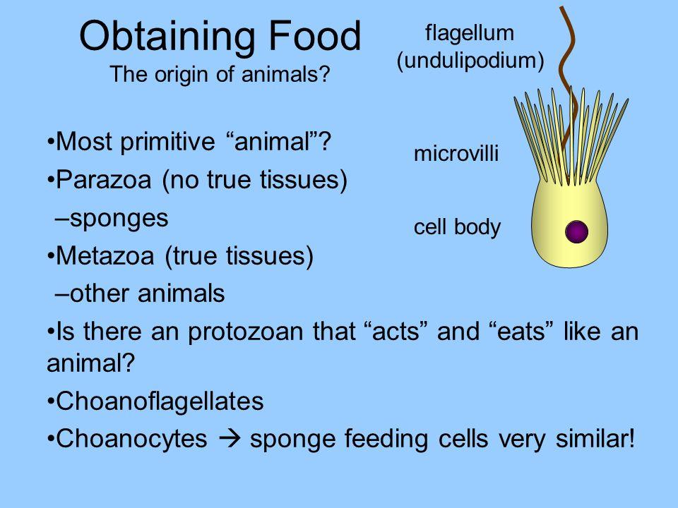 Obtaining Food The origin of animals