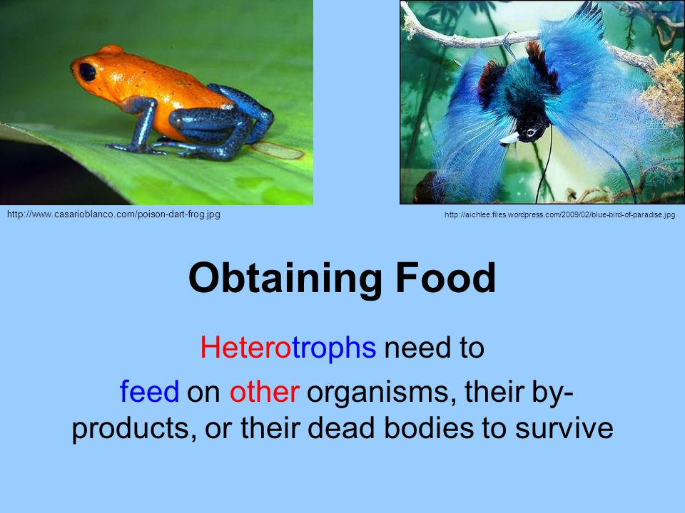 Obtaining Food Heterotrophs need to