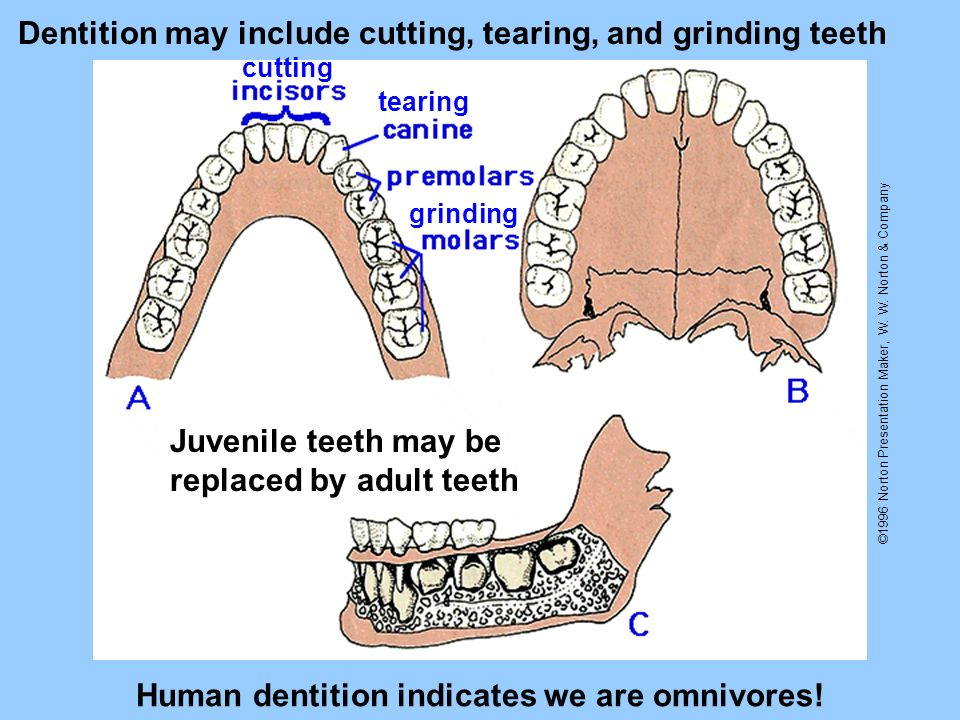 Human dentition indicates we are omnivores!
