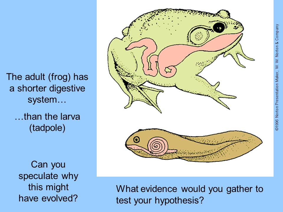 The adult (frog) has a shorter digestive system…