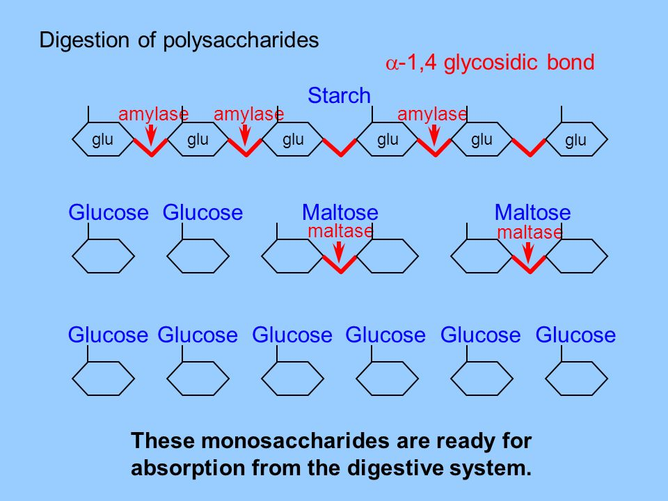 Digestion of polysaccharides -1,4 glycosidic bond
