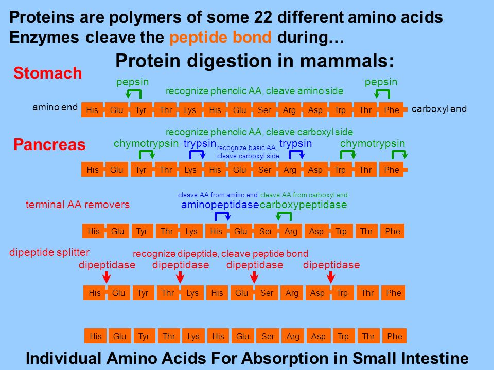 Protein digestion in mammals: