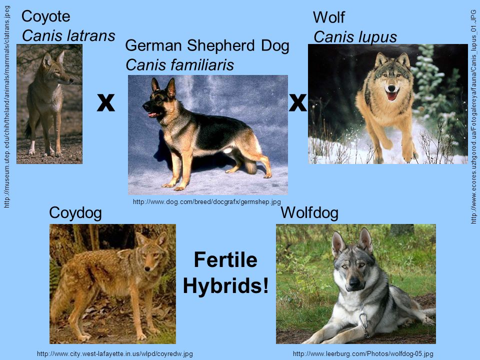 X X Fertile Hybrids! Coyote Canis latrans Wolf Canis lupus