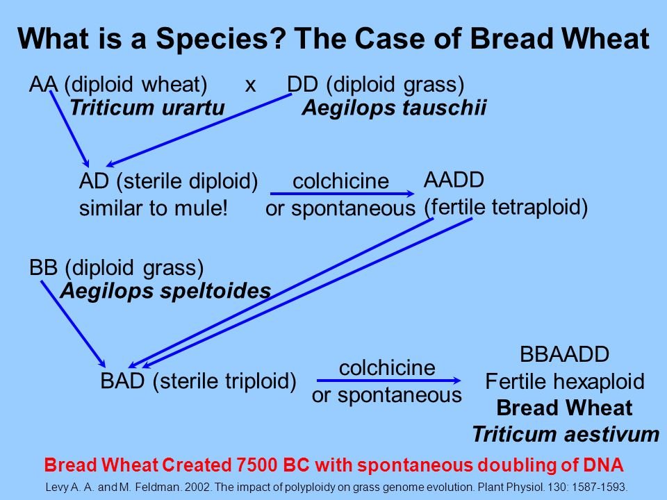 What is a Species The Case of Bread Wheat