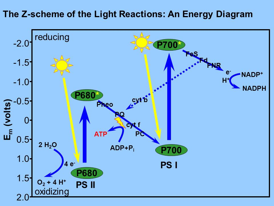 The Z-scheme of the Light Reactions: An Energy Diagram