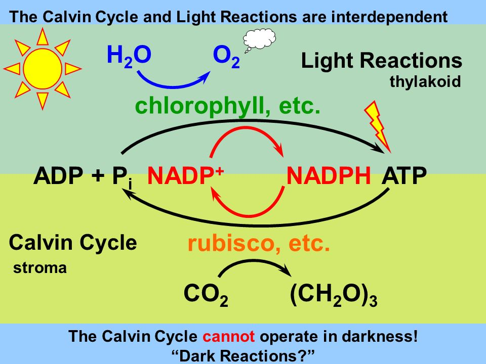 The Calvin Cycle cannot operate in darkness! Dark Reactions