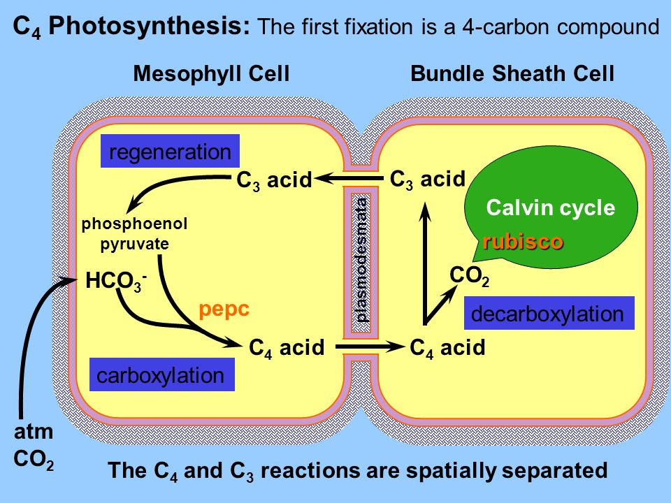 C4 Photosynthesis: The first fixation is a 4-carbon compound