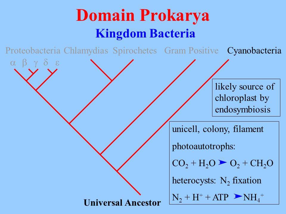 Domain Prokarya Kingdom Bacteria Proteobacteria Chlamydias Spirochetes