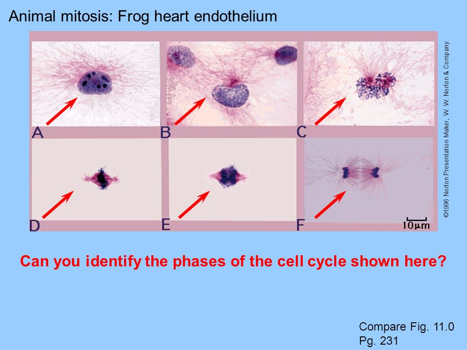 Can you identify the phases of the cell cycle shown here