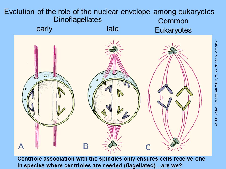 Evolution of the role of the nuclear envelope among eukaryotes