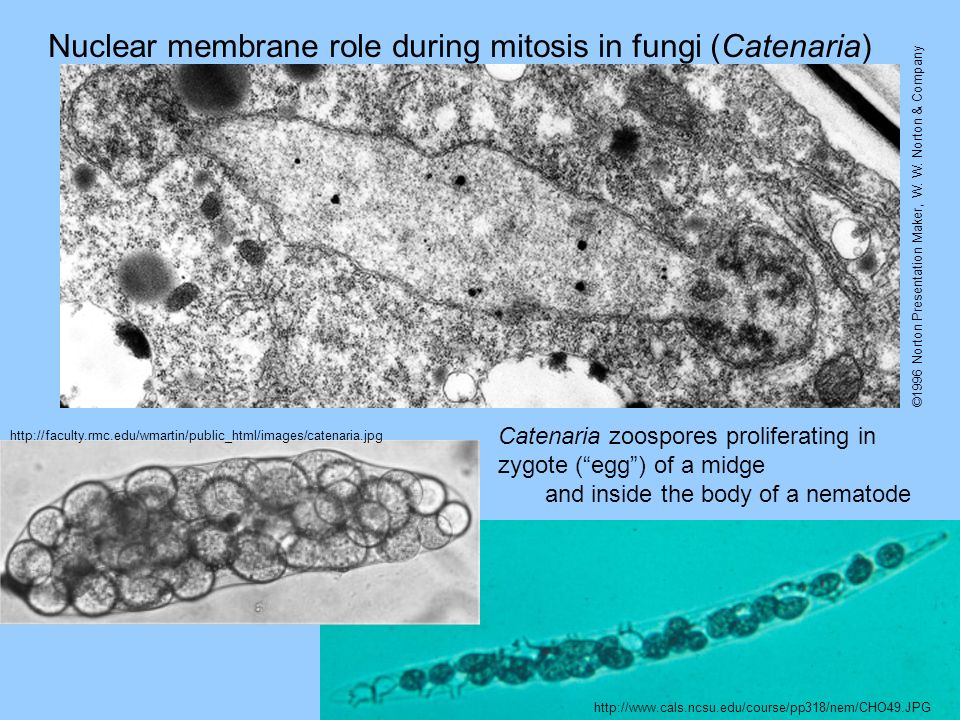 Nuclear membrane role during mitosis in fungi (Catenaria)