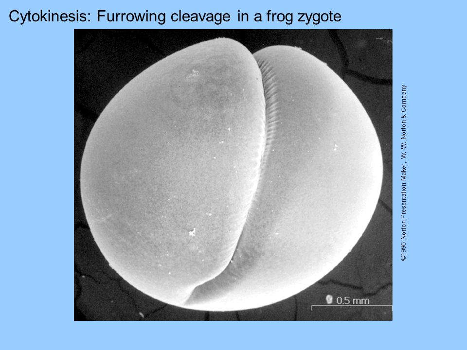 Cytokinesis: Furrowing cleavage in a frog zygote