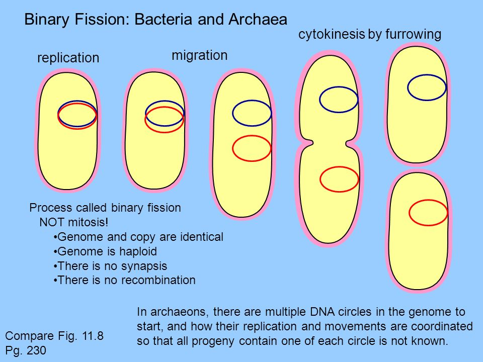 Binary Fission: Bacteria and Archaea
