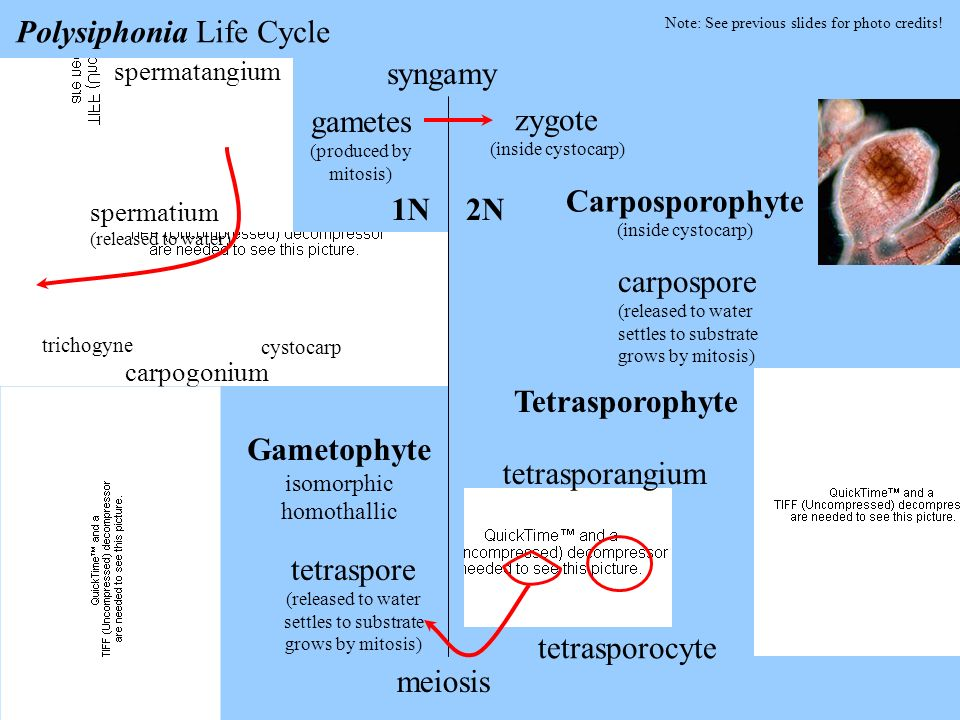 Polysiphonia Life Cycle syngamy