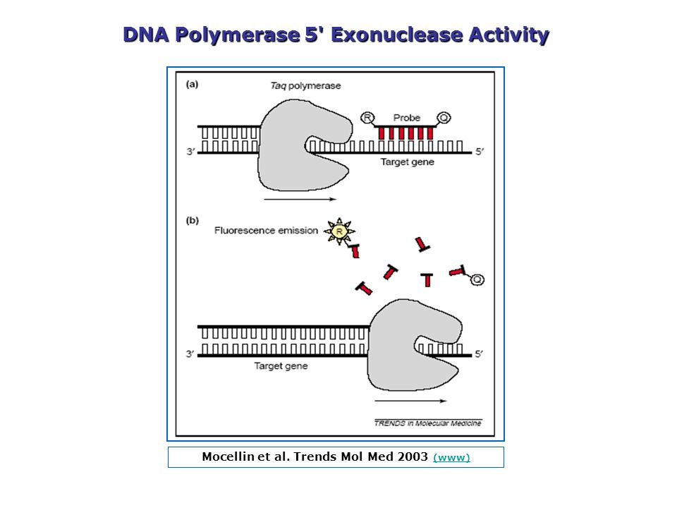 DNA Polymerase 5 Exonuclease Activity
