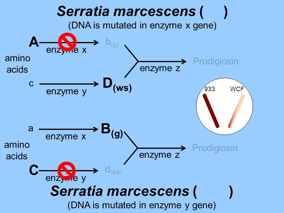Serratia marcescens ( ) Serratia marcescens ( )