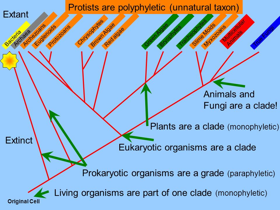 Protists are polyphyletic (unnatural taxon) Extant