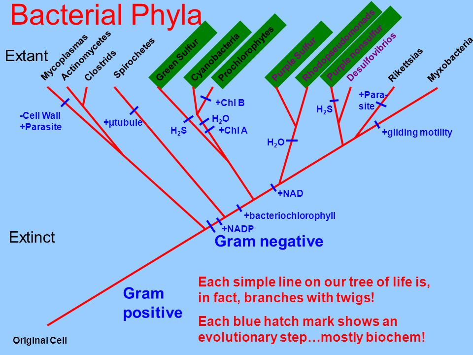Bacterial Phyla Extant Extinct Gram negative Gram positive
