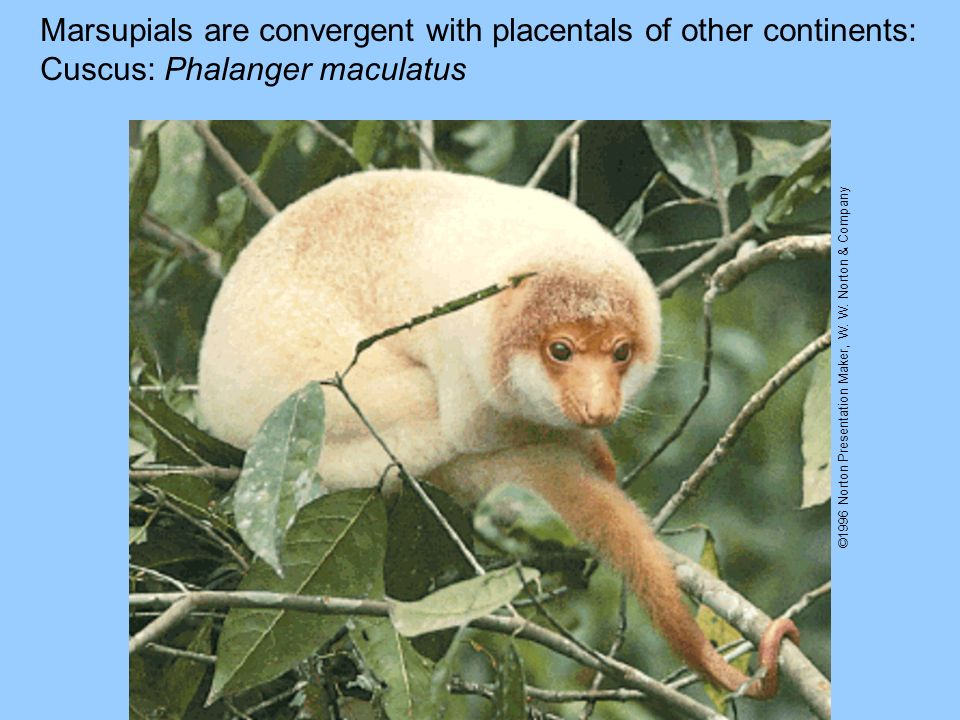 Marsupials are convergent with placentals of other continents:
