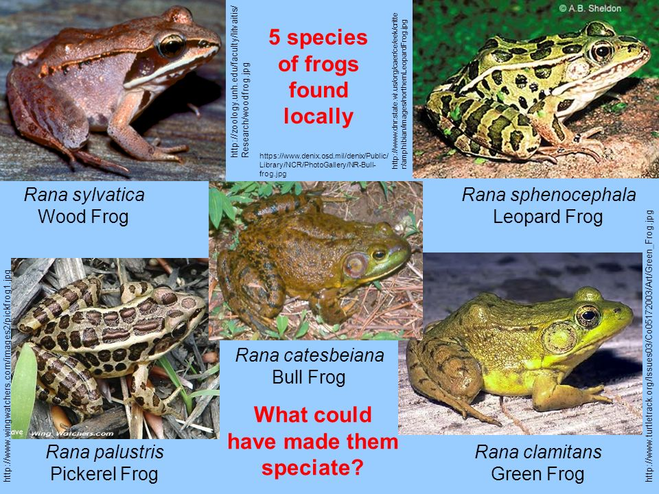 5 species of frogs found locally What could have made them speciate