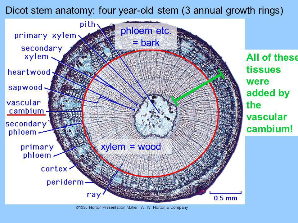 Dicot stem anatomy: four year-old stem (3 annual growth rings)
