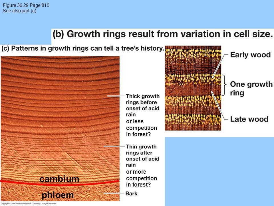 cambium phloem or less competition in forest