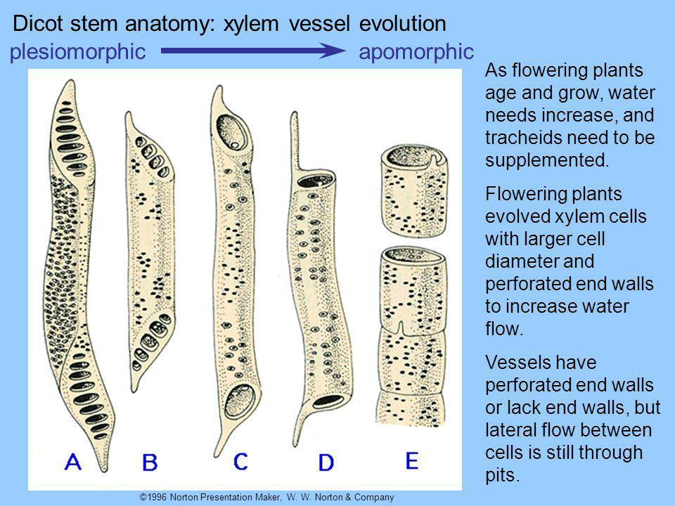 Dicot stem anatomy: xylem vessel evolution plesiomorphic apomorphic