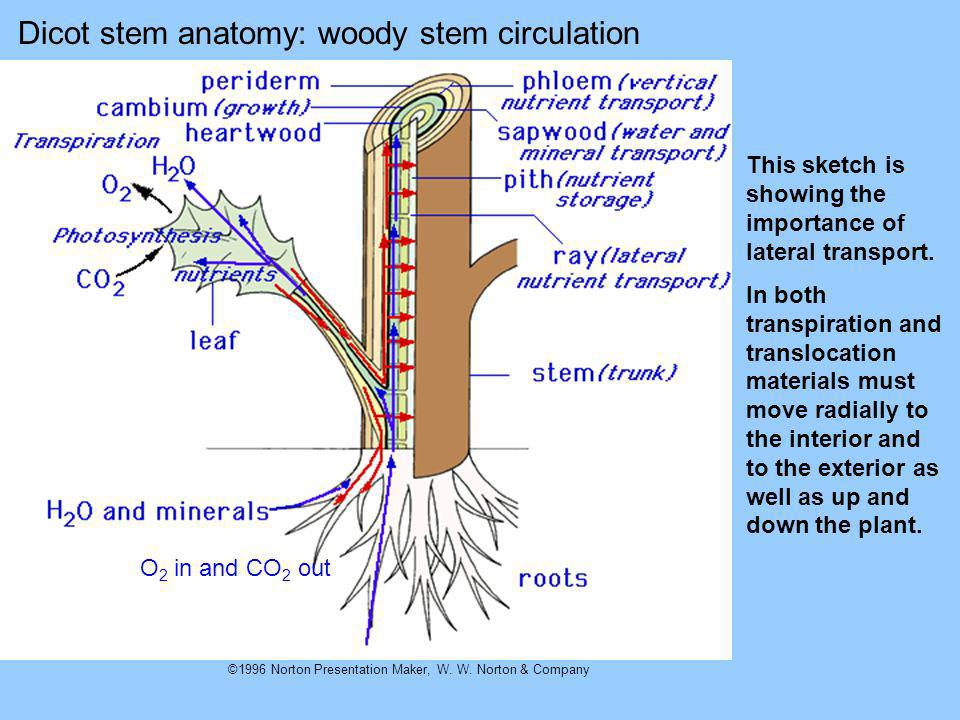 Dicot stem anatomy: woody stem circulation